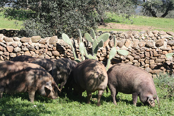 cerdos jamones ibericos