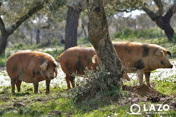 cerdos iberico bellota