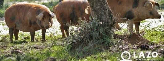 cerdos jamon iberico