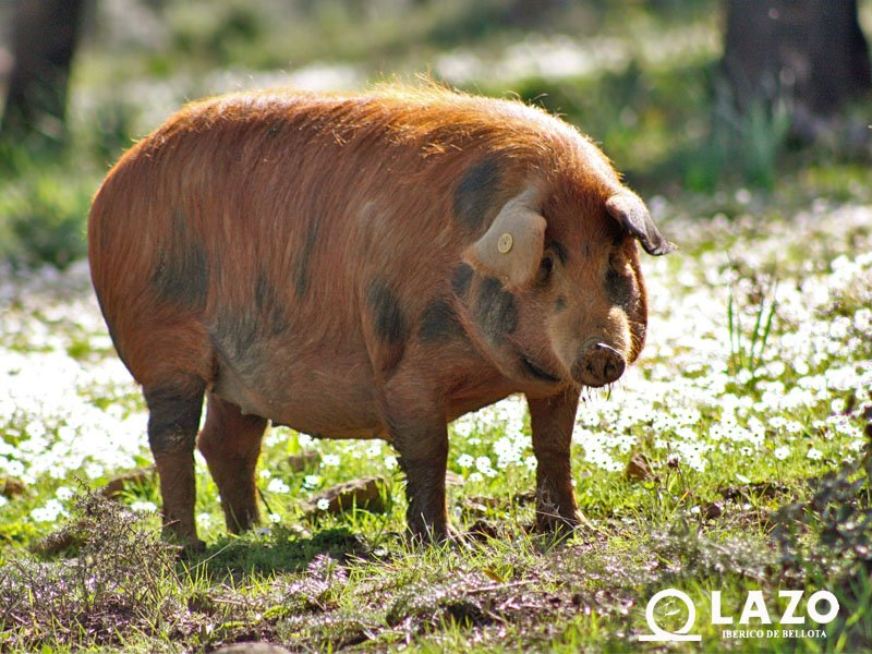 montanera-cerdo-iberico-bellota